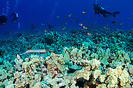 Agile Chromis, Chromis agilis, Smith, 1960, Pacific Trumpetfish, Autostomus chinensis (Linnaeus, 1766), Kona Hawaii
