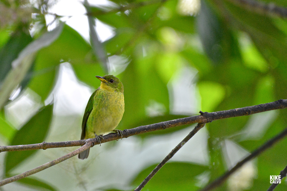 Green honeycreeper ( Chlorophanes spiza ), female,  is now thought to be an intergeneric hybrid between the green honeycreeper and either the red-legged honeycreeper or the blue dacnis. Found in the canopy of humid lowland forest.