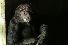 Chimps in the sun Royal Zoological Society Scotland, Edinburgh, 8 November 2018