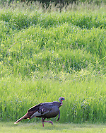 Eastern Wild Turkeys in Habitat