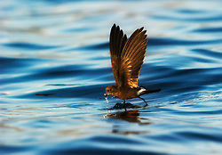 Elliot's Storm-petrel (Oceanites gracilis) feeding on the surface, Galapagos, Equador