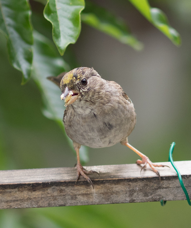 Finches & Sparrows in Marin
