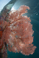 The Sun's rays penetrate the waters under a jetty, illuminating colorful Sea Fans.<br /> <br /> Shot in Indonesia