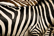 A pattern of stripes on a Burchell's Zebra.  Kenya.