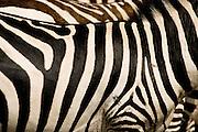 A pattern of stripes on a Burchell's Zebra.  Kenya.