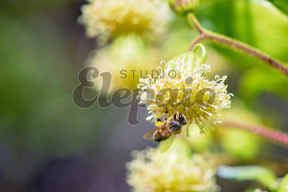 A bee on iliau (Wilkesia gymnoxiphium). Photographed in Waimea Canyon State Park, Kauai, Hawaii.