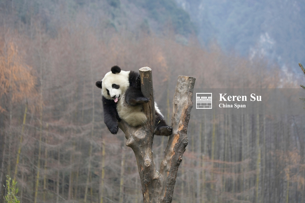 Giant Panda cub on a tree, Wolong Panda Reserve, Sichuan, China