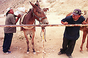 07 AUGUST 2000 - SUPAI, AZ: Sun Eagle, left, and Jeremiah Chamberlain load mules with the US mail at a hitching rail in the parking lot eight miles above the village of Supai on the Havasupai Indian reservation in northern Arizona, Aug. 7. There are no roads or rail service into Supai, a village of 600 people on the floor of the Grand Canyon, west of the Grand Canyon National Park, so the mail is delivered by mule train. The wranglers who lead the mules down to the village haul everything from letters and postcards to fresh produce and refrigerated foods. The mail is hauled down the steep mountain slopes five days a week rain or shine. It normally takes about three hours to haul the mail down. The mule wranglers are self employed contractors and have to provide all of their own mules and equipment. Because of budget shortfalls, the US Postal Service is threatening to close the post office in Supai.   PHOTO BY JACK KURTZ
