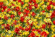 De Keukenhof is een bekend bloemenpark ten noordwesten van Lisse. Het trekt jaarlijks ongeveer 800.000 bezoekers vanuit de hele wereld.<br /> <br /> <br /> Keukenhof (in Dutch: Kitchen garden), also known as the Garden of Europe is situated near Lisse, Netherlands, and is the world's largest flower garden. According to the official website for the Keukenhof Park, there are approximately 7,000,000 (seven million) flower bulbs planted annually at the park
