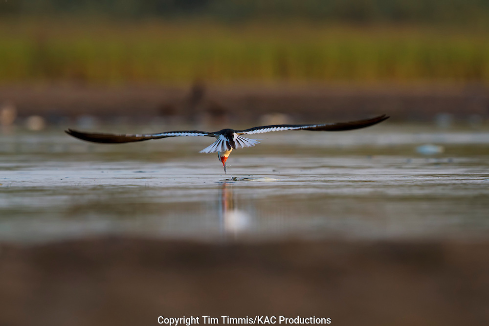 Black Skimmer, Rynchops niger, Bryan Beach, Texas gulf coast, skimming, going away, lowered head with extended tail feathers