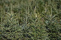 Frasier fir trees at Clawson's Choose and Cut outside Boone.