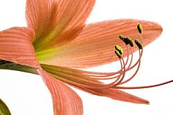 Amaryllis belladonna#6