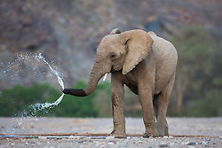 A female and calf desert-adapted elephant (Loxodonta africana) drink at a water hole ,Skeleton Coast, Namibia