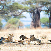 A pride of lions rests in the shade of a tree from the midday sun at Tarangire National Park in northern Tanzania not far from Ngorongoro Crater and the Serengeti.