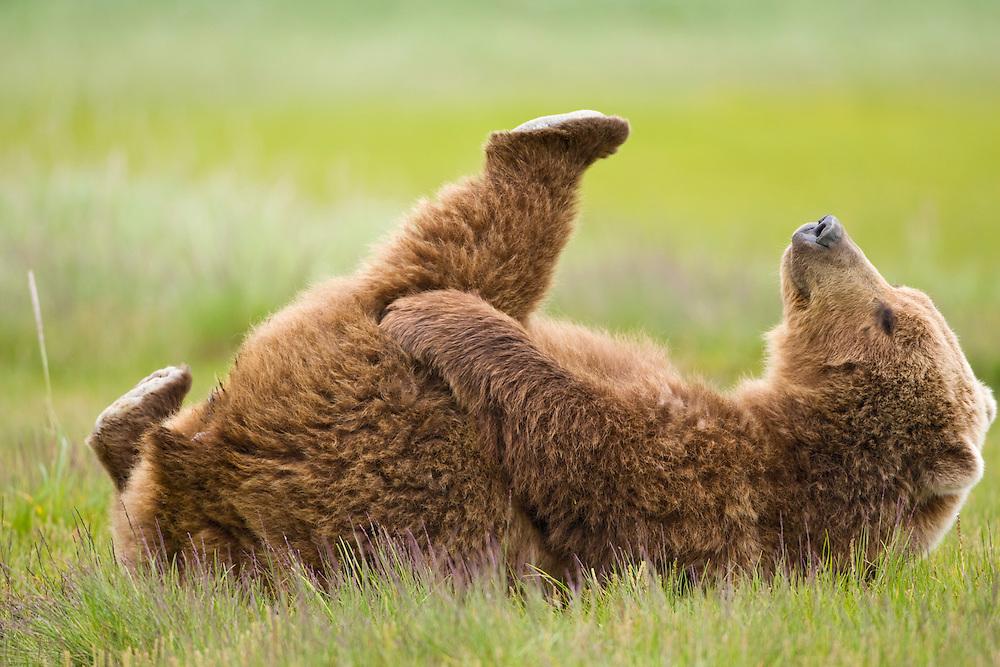 USA, Alaska, Katmai National Park, Brown bear (Ursus arctos) lies on back in meadow along Hallo Bay