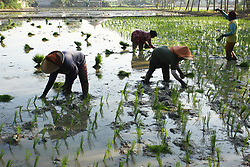 August 2, 2017 - Bekasi, West Java, Indonesia - Farmers plant rice in rice fields in Cibitung district, Bekasi, West Java, July 2, 2017. In the report of The Economist Intelligence Unit (EIU) which just released the Global Food Sustainability Index in early July, Indonesia was listed as 21 of 133 countries, Arab, Egypt, Saudi Arabia, and India. Indonesia's ranking rose significantly compared to last year's position of 71. The index is divided into three categories, Food Loss and Waste, Sustainable Agriculture and Nutritional Chalenges. In the indicator Food Loss and Waste Indonesia is in position 24, with a score of 32.53. Sustainable Agriculture, Indonesia got a score of 53.87 and was ranked 16th. While Nutritional Chalenges ranked 18th with a score of 56.79. (Credit Image: © Aditya Irawan/NurPhoto via ZUMA Press)