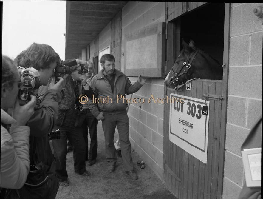 "Shergar Foal Sale.1983.20.11.1983.11.20.1983.20th November 1983..An,as yet,un-named foal  sired by the famous Shergar was on view for the first time today. The viewing was prior to the auction to be held at Goffs Sales,Kildare..The final images of the colt are taken just as an auction official prepares to close the stable door..Note; On the 8th February 1983,""Shergar"",was kidnapped from the Ballymany Stud,Curragh, Co,Kildare. the IRA were the alleged kidnappers. Shergar had been syndicated for £10million by the Aga Khan,his owner. Shergar had won the Epsom Derby by a record 10 lengths. The purported ransom was £2million. Despite a large investigation the horse had dissappeared and no trace of him was ever found. The story has been the subject of much controversy and has be much covered in books and film"