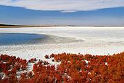 Red samphire (Salicornia rubra)  plant in Alkali Lake<br /> Foremost<br /> Alberta<br /> Canada