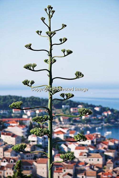 L'Agave originaire des Amériques est devenu l'emblème de la ville. Elle ne fleurit qu'une fois dans sa vie au bout de 100 ans puit elle meurt.