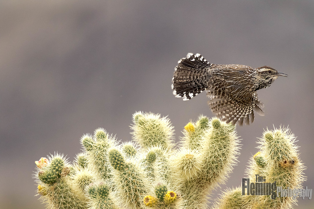 The Cactus wren (Campylorhynchus brunneicapillus) is the largest wren in the United States. They are highly adapted to living in the desert, building their nests in cactus like this.