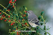 01395-01915 Northern Mockingbird (Mimus polyglottos) eating China Holly (Ilex cornuta) berry Marion Co.  IL