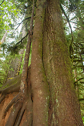Three different trees of varying ages have set roots down on top of an old growth snag. Location: Quinault Rain Forest Trail, Olympic National Forest, Washington, US