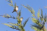 House Sparrow, New Zealand