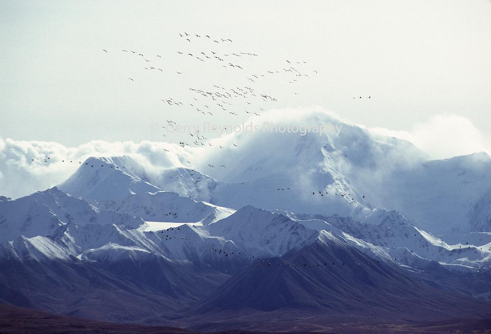 Sandhill Cranes, Cranes, Denali, Denali National Park, Alaska, Mt. McKinley, Mount McKinley