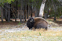 American Bison (Bison bison) near Old Faithfull Geyser, Yellowstone National Park   Photo: Peter Llewellyn