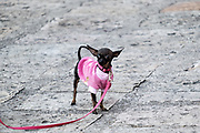 A Mexican Chihuahua wearing a sweater waits for the annual blessing of the animals on the feast day of San Antonio Abad at Oratorio de San Felipe Neri church in the historic center of San Miguel de Allende, Guanajuato, Mexico.