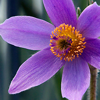 Macro photograph of a purple and yellow flower found along the Ice Age Trail in Wisconsin.