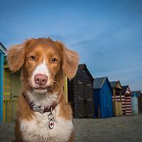 Nova Scotia Duck Tolling Retriever Dogs