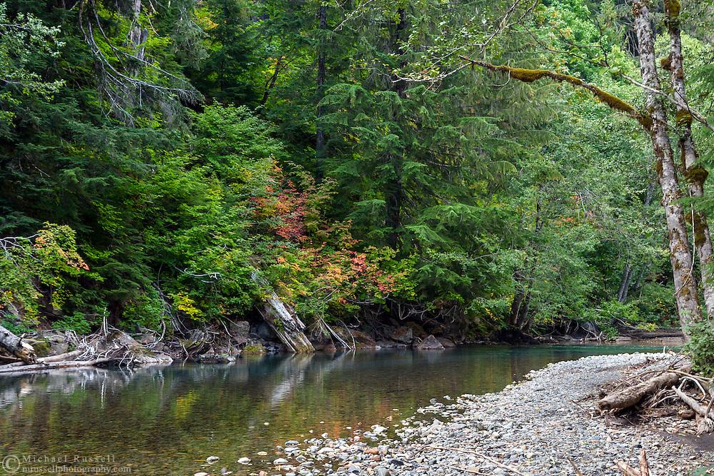 Vine Maple (Acer circinatum) fall foliage colors along the Ohanapecosh River at the Grove of the Patriarchs - Mount Rainier National Park, Washington State, USA