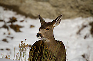 Mule Deer (Odocoileus hemionus)<br /> NEW MEXICO: Taos Co.<br /> Red River<br /> 2-Jan-2011<br /> J.C. Abbott