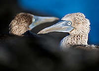 A pair of blue-footed boobies, Galapagos National Park, Ecuador.