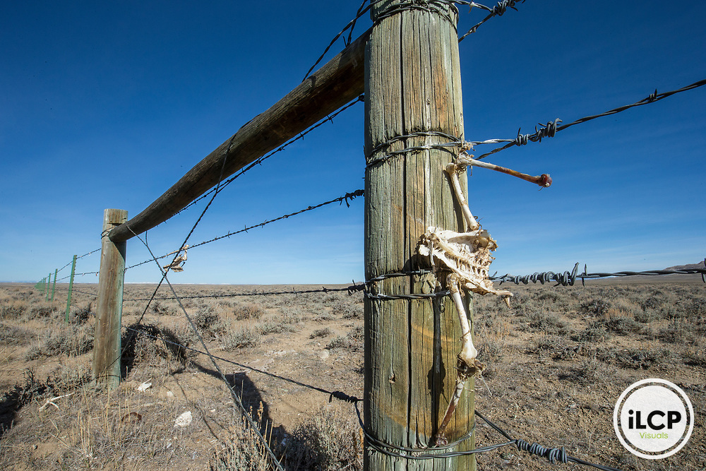 A remaining of a Greater Sage-Grouse's skeleton that has been killed by a fence collision in Sublette County in Wyoming.