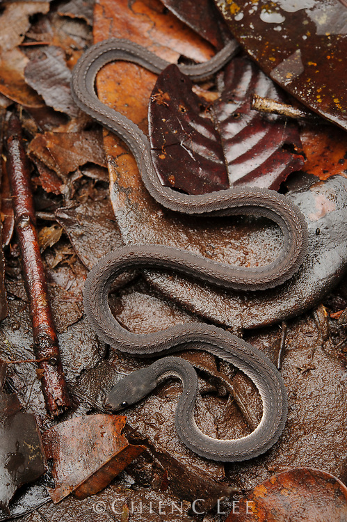 Rough-backed Litter Snake (Xenodermus javanicus), an unusual frog-eating snake from lowland rainforests of Malaysia, Sumatra, Borneo, and Java.