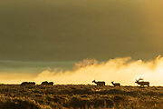 Elk duriing the autumn rut in Wyoming