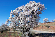 Almond trees in full blossom in the Ounila Valley, Morocco.