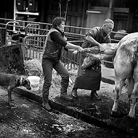 Le blanc bleu belge (BBB) est une race bovine belge destinée à la production de viande. La morphologie des cuisses des vaches gêne pour le vêlage. Cela entraîne toujours le recours à une césarienne. Pour cette raison, l'élevage de ce bovin doit prévoir le coût et la disponibilité locale d'un vétérinaire..Gabriel Legros se déplace jour et nuit dans la région de Marche en Famenne. Ce dimanche matin, un déplacement de 60 Kms, une césarienne, pour une facture de 95 Euros. Les vétérinaires subissent également les effets indirects de la crise agricole.