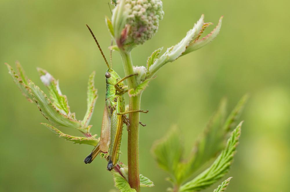 Meadow grasshopper; Chorthippus parallelus; Ruggellerriet, Liechtenstein