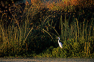 Egret and reeds at sunrise, Clear Lake State Park, Lake County, California