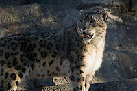 A Snow Leopard wanders around its enclosure at the Calgary Zoo..©2007, Sean Phillips.http://www.Sean-Phillips.com