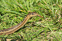 Unusual but not unheard of, this northwestern garter snake (Thamnophis ordinoides) was unexpectedly found actively hunting in the grass near the beach on a rare February sunny day on the Oregon Coast in Oswald West State Park. One of the smallest of garter snakes in the region, it is also one of the hardest to identify because of the extreme variability in color and pattern. One of the best clues without counting scale numbers and patterns is the head, which tends to be quite small for a garter snake. This one was quite large for this smaller species - it was over 30 inches when the typical northwestern garter is usually around 24 inches. With a range from Vancouver Island in Canada's British Columbia in the north all the way south to Northern California, these snakes mostly inhabit the area between the Pacific Ocean and the Cascade Mountain Range.