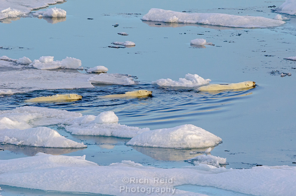 Sow with two polar bear cubs swimming to sea ice in Barrow Strait just south of Cornwallis Island in Nunavut, Canada.