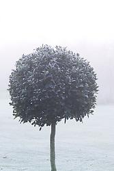 Clipped standard holly ball in fog and frost - Ilex aquifolium 'Siberia'