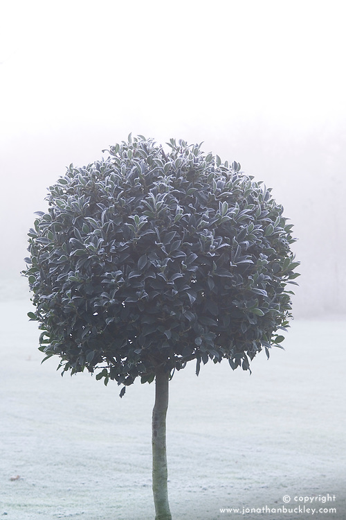 Clipped standard holly ball in fog and frost - Ilex aquifolium 'Siberia'