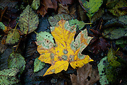 Leaves decay on the forest floor of coastal rain forest. Oregon.