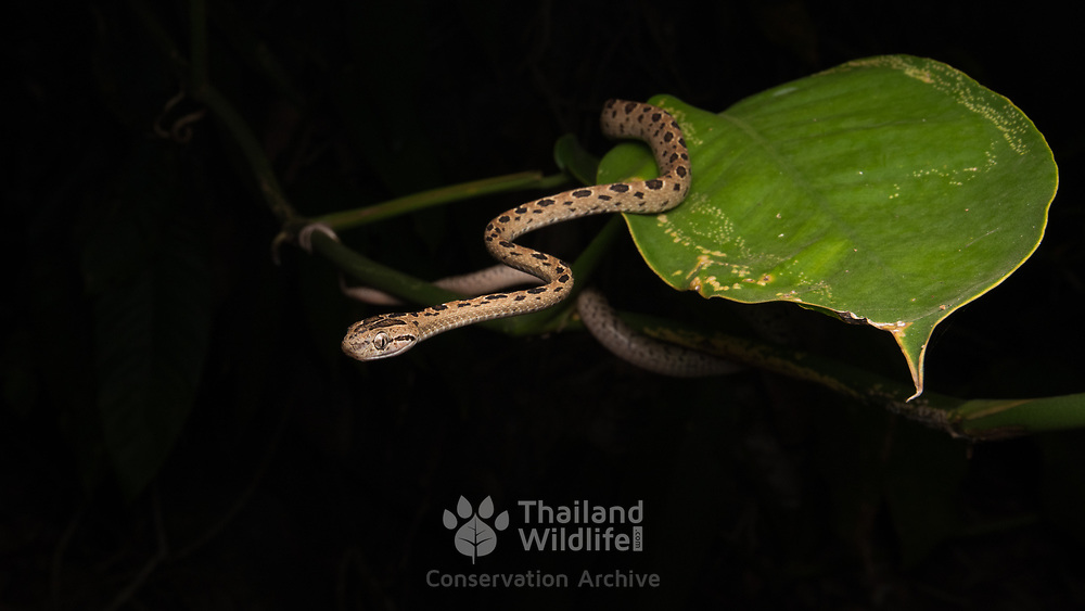 Many-spotted cat snake (Boiga multomaculata) in Mueang Chumphon, Thailand