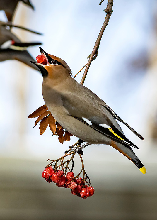 Alaska.  An adult Bohemian Waxwing (Bombycilla garrulus) clinging to a branch of a Mountain Ash tree (Sorbus sp.) while feeding on the cluster of red berries hanging below in Anchorage in February.
